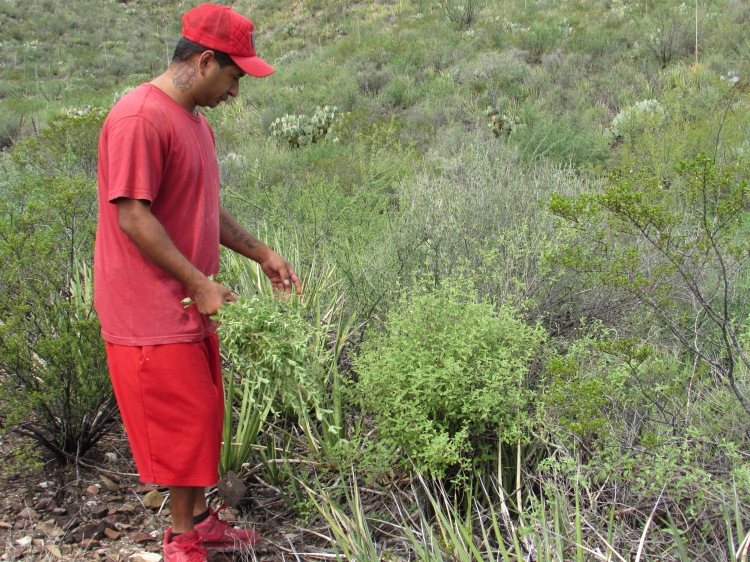 My brother picking fresh oregano that grows wild in the mountains.