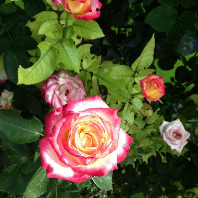 Rosebush in my father's garden.