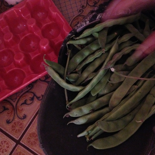 Fresh picked green beans.